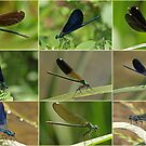 Beautiful & Banded Demoiselles by Robert Abraham