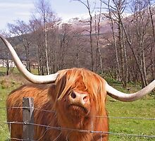 Highland Cow by simpsonvisuals
