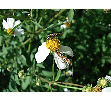 Ailanthus Web Moth Photographic Print