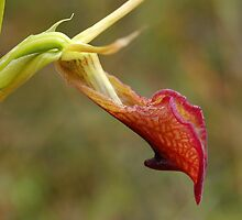Slipper Orchid Cryptostylis ovata  by Eve Parry