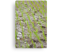 Paddy Field 3 Canvas Print