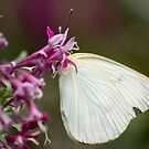 Great Southern White by Donna Adamski