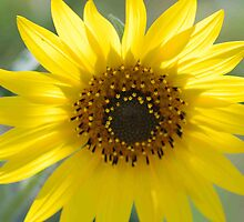 Sunflower II by Anne Morrow