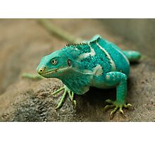 Fijian Crested Iguana Photographic Print