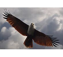 Brahminy Kite - Soaring Photographic Print