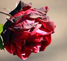Old Rose by Susan Brown