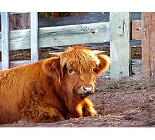 Baby Highlander Photographic Print