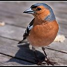 Cheeky Chaffinch (aka felon) by Shaun Whiteman