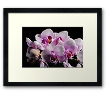 Pink and White Moth orchids Framed Print