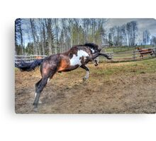 Spirited Pinto Stallion Equine Action Photo Canvas Print