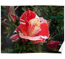 Colours of Summer .. an enchanting Rose Poster