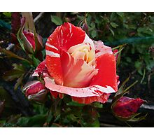 Colours of Summer .. an enchanting Rose Photographic Print