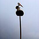 Pelican by sparrowdk