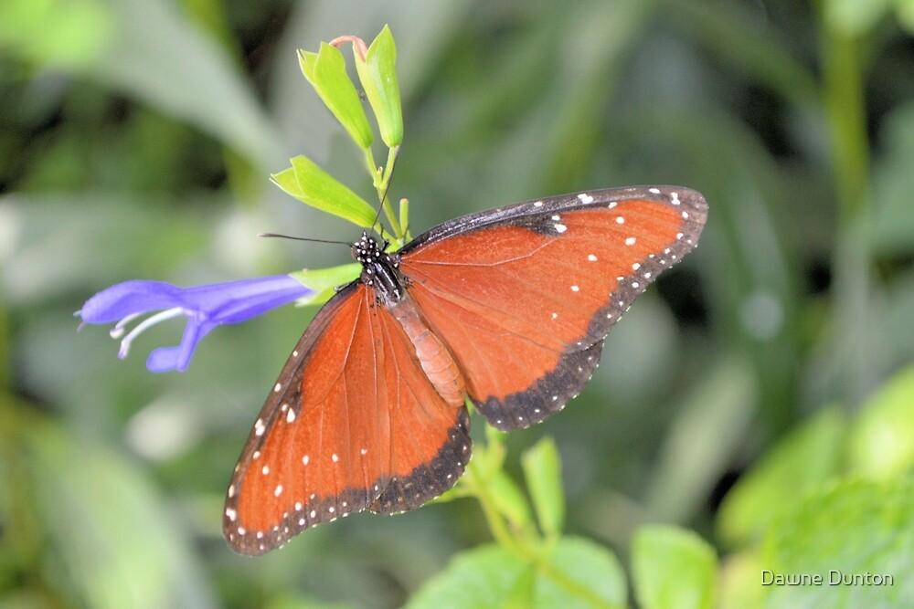 The Queen Butterfly by ©Dawne M. Dunton