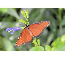 The Queen Butterfly Photographic Print