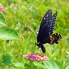 The Pipevine Swallowtail Butterfly by ©Dawne M. Dunton