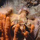 Hermit crab with anemones by Erik Schlogl