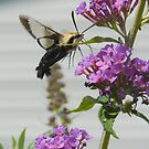 The Stalker Has Won! ( Clearwing Hummingbird Moth) by rasnidreamer