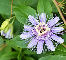 Passion Flower 4 by ©Dawne M. Dunton