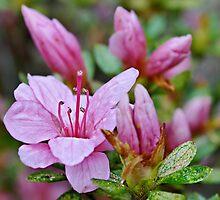 Pink Azaleas in the Garden by Scott Mitchell