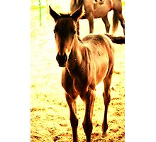 Baby Brown Horse Photographic Print