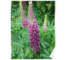 Mauve Lupins Poster