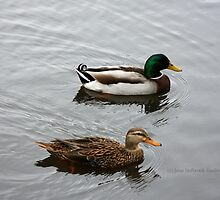 Mallard Ducks in Arlington Park by June Holbrook