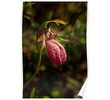 Pink Lady's Slipper Orchid (Cypripedium acaule) Poster