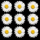 Nine Common Daisies Isolated on A Black Backgound by taiche