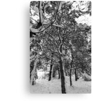Close-up of pine leaves in snow.  Canvas Print