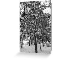Close-up of pine leaves in snow.  Greeting Card