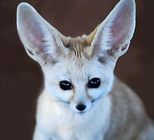 Bat Eared Fox  by laureenr