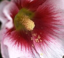 Hollyhock by Joy Watson