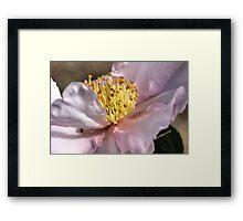 Gold Dust on Camellia Framed Print