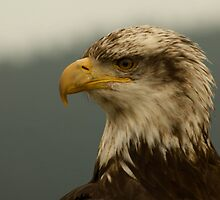 Eagle by Peter Costello