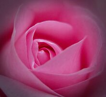 Birthday Rose by Carol Ritchie