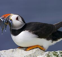 Puffin with Sandeels by David Lewins