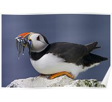 Puffin with Sandeels Poster