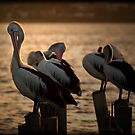 Pelicans by Tony Steinberg