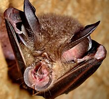 Wrinkle-lipped bat by John Spies