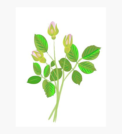 Three Rose Buds Photographic Print