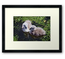 Newly Hatched Cygnets At Abbotsbury Framed Print
