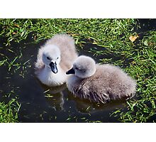 Newly Hatched Cygnets At Abbotsbury Photographic Print