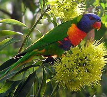 Rainbow Lorikeet by John Vriesekolk