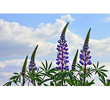 Leaning Lupins Photographic Print