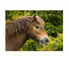 wild exmoor pony Art Print