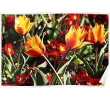 red and yellow loving tulips Poster