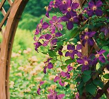 CLEMATIS by schiabor