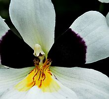 Yellow Orchid Feature by Dennis Rubin IPA