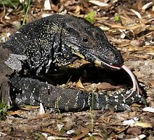Australian goanna 01 by kevin chippindall